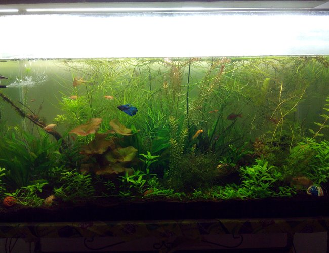 80 gallons planted tank (mostly live plants and fish) - 80 gallon planted tank. This has java moss, anubias nana, some lilies. Fishes like fighter, tetra and shrimps like ghost and cherry shrimp.