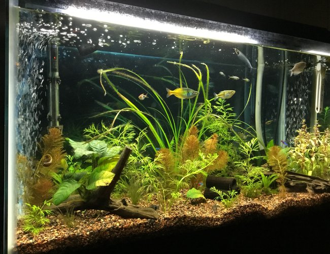29 gallons planted tank (mostly live plants and fish) - My tank that we have been working on for two years and still feel new to the hobby.   Goal is to have a planted tank that looks like a real (at least to a human) habitat.   All tips, suggestions are welcomed!