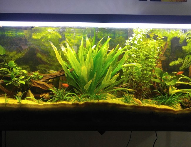 55 gallons planted tank (mostly live plants and fish) - Driftwood Ave.