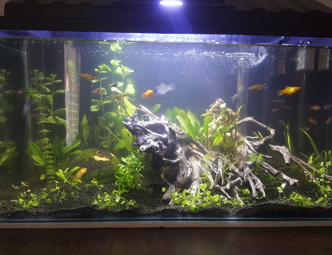15 gallons planted tank (mostly live plants and fish) - 1 month old