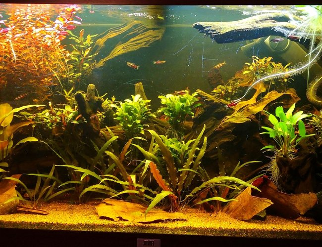 47 gallons planted tank (mostly live plants and fish) - Front
