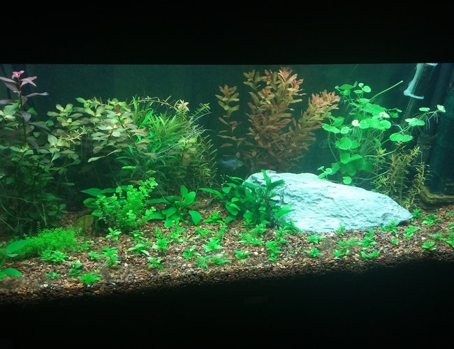 42 gallons planted tank (mostly live plants and fish) - Juwel Rio 180