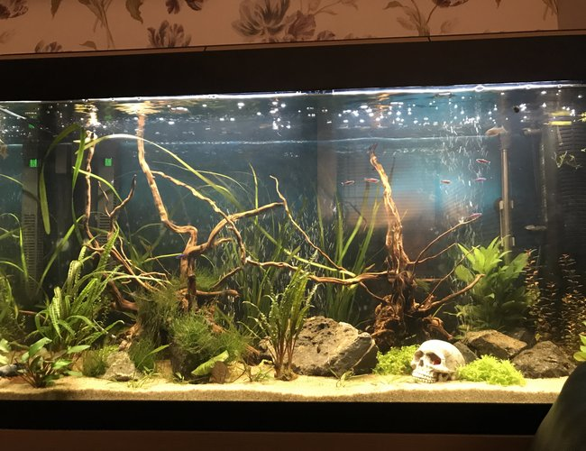 52 gallons planted tank (mostly live plants and fish) - Front view
