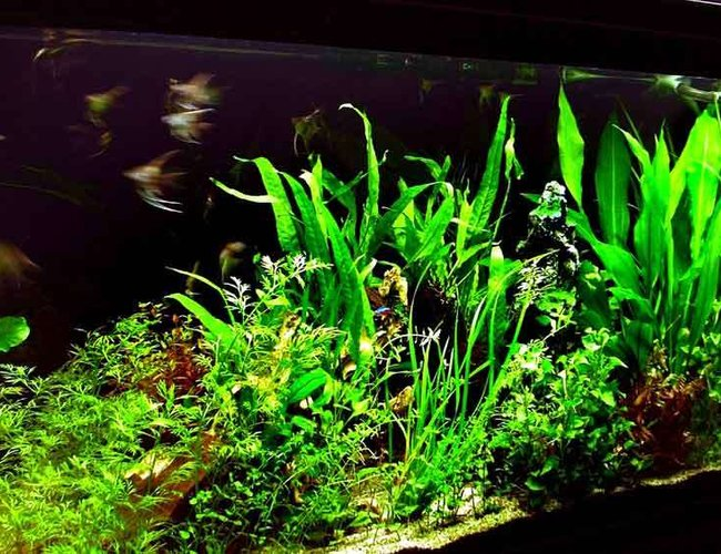 64 gallons planted tank (mostly live plants and fish) - Closer view of plants