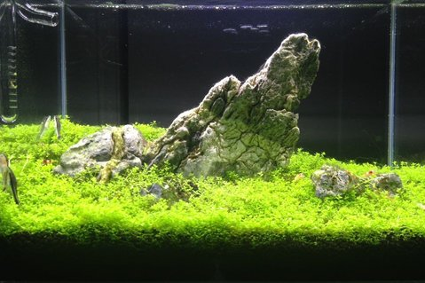 Rated #6: 6 Gallons Planted Tank - Iwagumi style tank! With 15 crystal red shrimps and 3 otocinclus fish