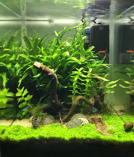 Rated #10: 10 Gallons Planted Tank - Tank after 6 months, Monte Carlo has taken well.