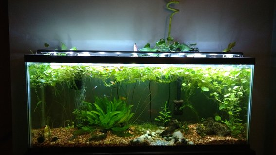 Rated #37: 55 Gallons Planted Tank - Established one year old 55 gallon.