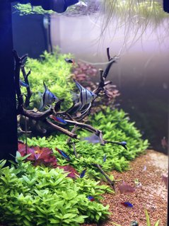 Rated #4: 42 Gallons Planted Tank - Blue Angels!