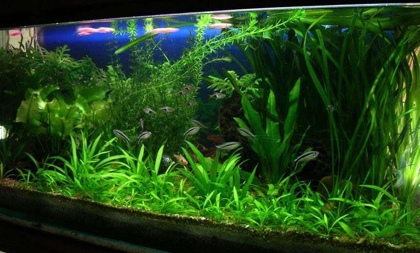 Rated #7: 30 Gallons Planted Tank - I keep fresh water fish long time ago but when i saw sum planted tank photos on net when I   surfing sum information that time  I  decide to kept the planted tank. I am a 3D graphic Artist
