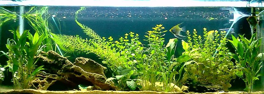 Rated #29: 67 Gallons Planted Tank - 255 litre freshwater, 2 months olds