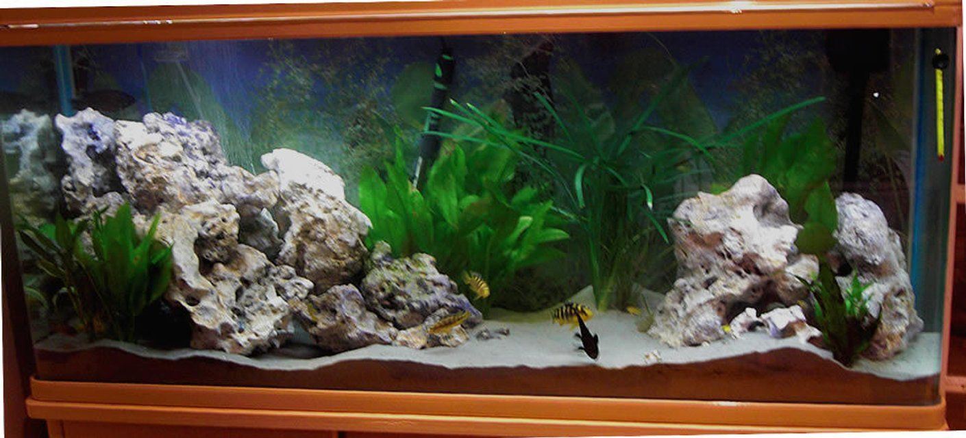 Rated #80: 50 Gallons Planted Tank - Sucessful planted malawian cichlid aquarium. fish include yellow labs, hornets and blue alhi. filtertion provided by a large wet and dry filter.