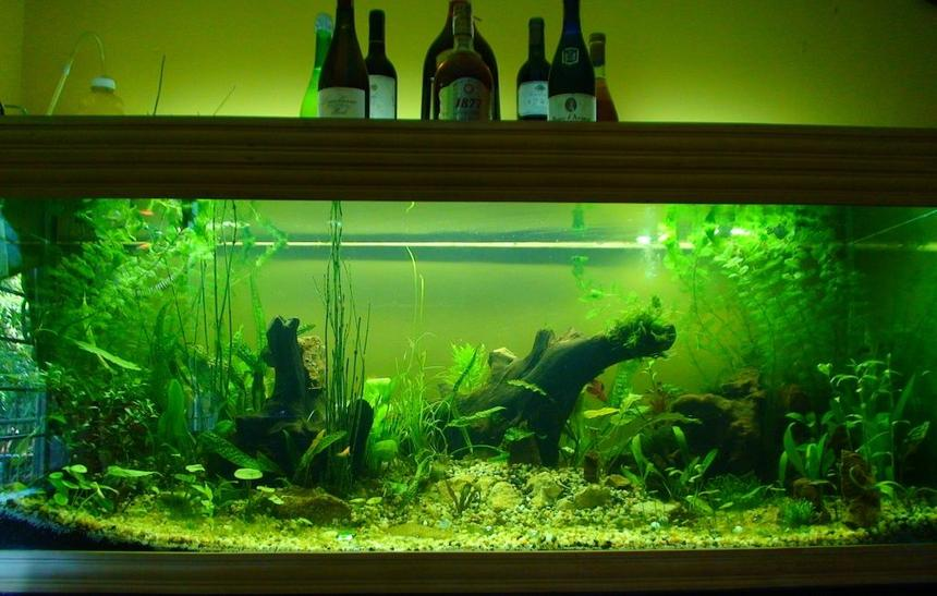 Rated #93: 150 Gallons Planted Tank - Update of my First Low Cost Planted Aquarium : The Dream II