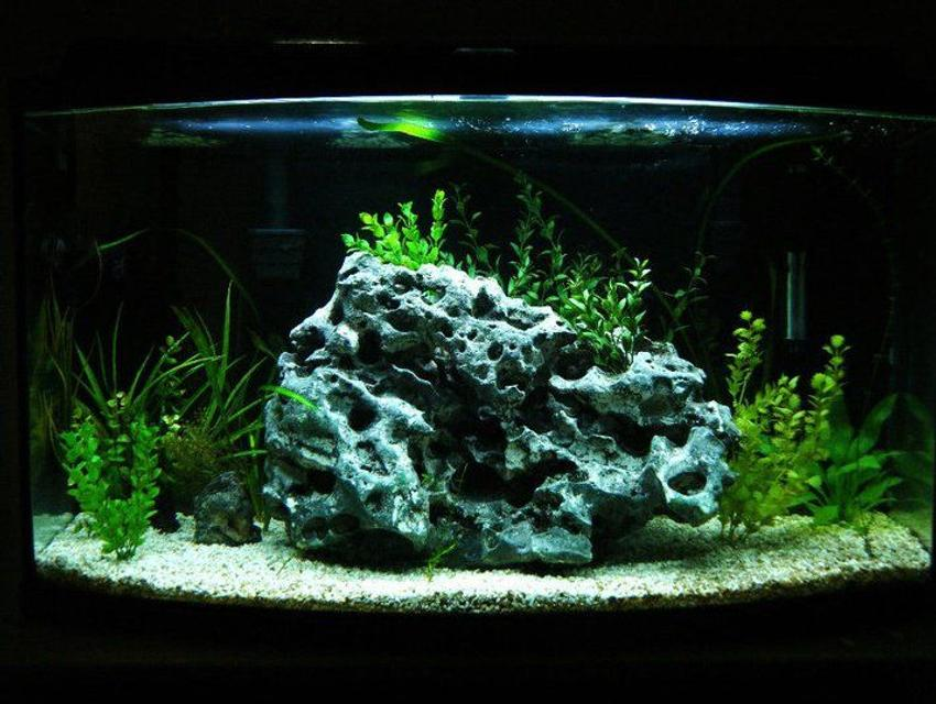 Rated #95: 46 Gallons Planted Tank - i actualy didnt even plan on rearanging my aquarium untill i came across this rock.it is a forty six-gallon bowfront. the substrate is crushed coral, live plants from a local river, the rock actualy came from the same river, i saw it when i was snorkeling and had to go back and get it! i currently only have five, inch long african cichlids. one daffodill, two yellow labs, and two kenyii. the filtration consists of two hang on penguin bio wheel 300's. lighting is provided by only one flourescent 10,000 k bulb, when i can afford it im gonna get a twin bulb compact fixture. the heater keeps the tank a constant 78 degrees f. and the koralia current creator helps keep the water moving constantly, it flows around the front of the rock, keep in mind this tank was created on a budget