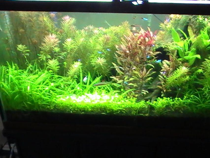 Rated #34: 42 Gallons Planted Tank - Rescaped 42 gallon tank