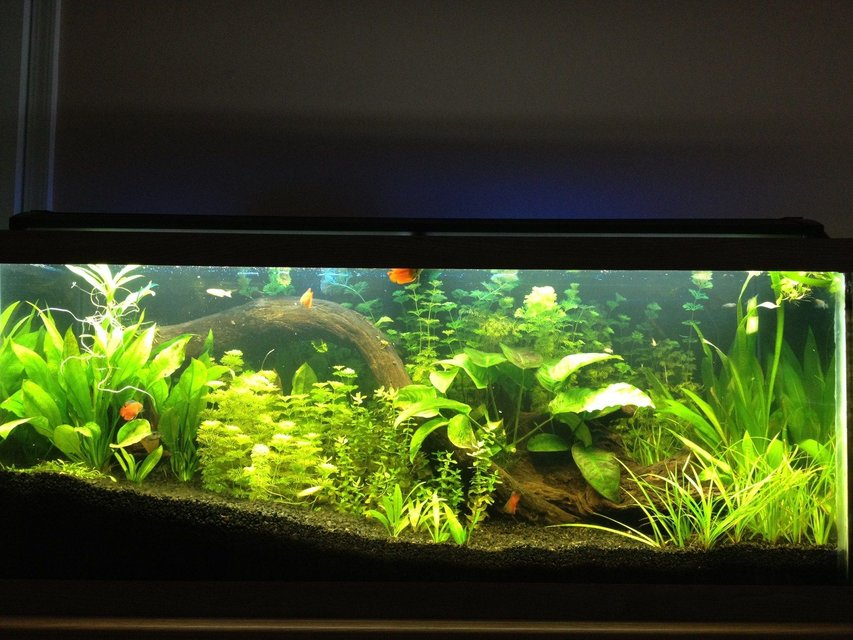 Rated #54: 125 Gallons Planted Tank - 75 Gallon with Angels, Dwarf Gourami's, Danios, Blue Rams, and Guppies