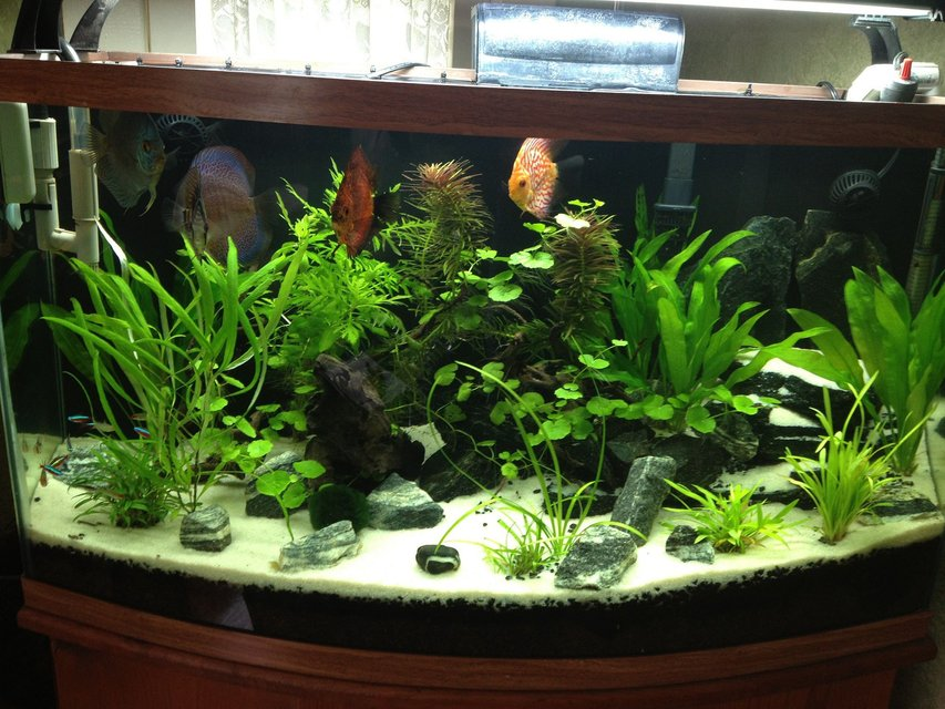 Rated #22: 49 Gallons Planted Tank - My Amazon Planted Discus  Aquascape