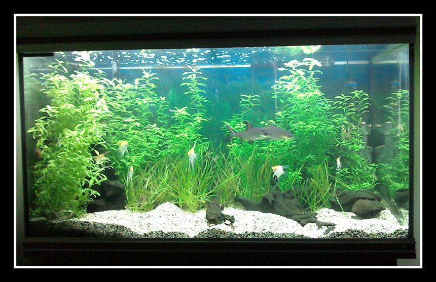 Rated #25: 87 Gallons Planted Tank - Tropical planted freshwater