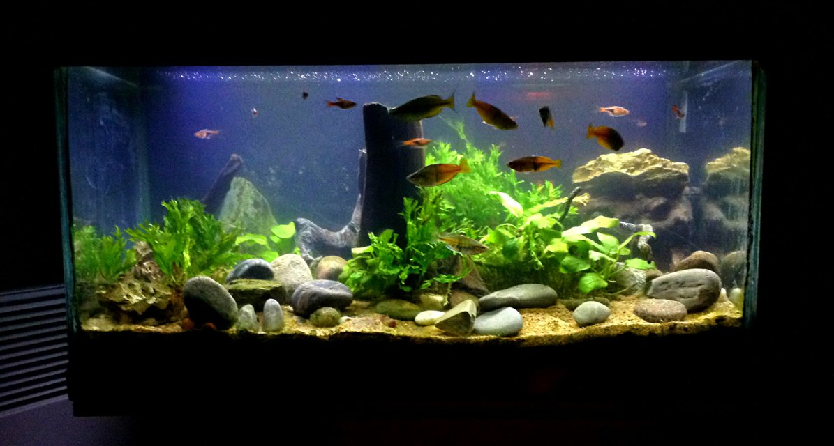 Rated #21: 15 Gallons Planted Tank - various ferns, various anubias,various Cryptocorynes,  drift wood, river pellets, bosemani raibows, Harlequin Rasobras