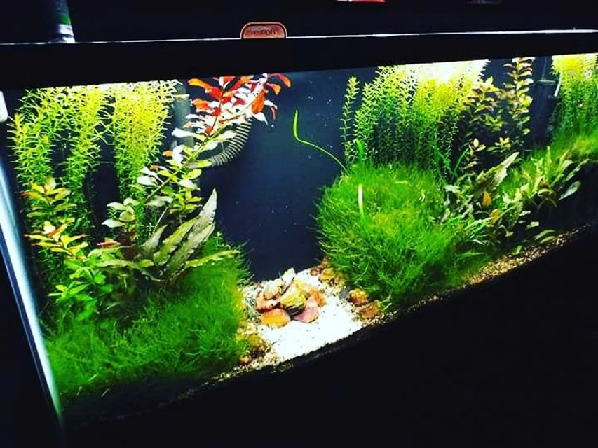 Rated #12: 72 Gallons Planted Tank - 55 gallon scape. Crypt. Wendtii, Ludwigia Repens, Rotala Indica, Christmas Moss. Petrified wood from Cedar Mountain, Utah in the center.