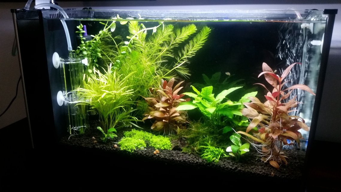 Rated #21: 5 Gallons Planted Tank - Tremendous Plant Growth after CO2 addition! Endler Guppys are enjoying the plant coverage
