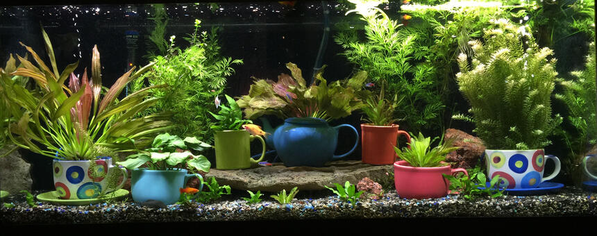 Rated #2: 72 Gallons Planted Tank - This is my 75-gallon freshwater planted aquarium. Located in my living room, on display next to my mug collection. It's been running for 8 months or so. Enjoy and thank you!