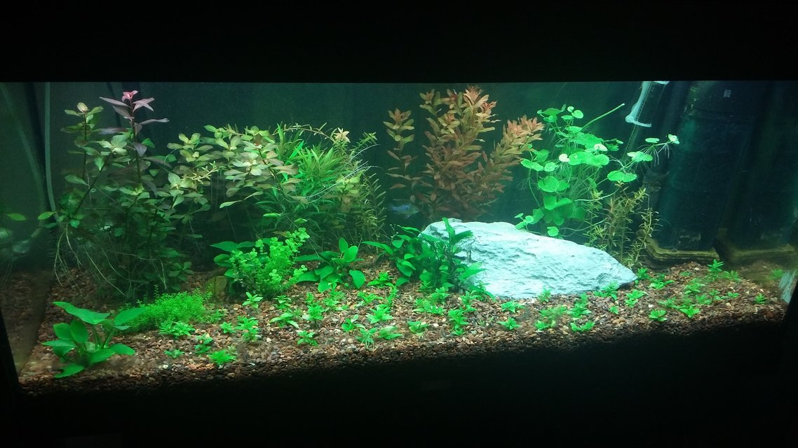 Rated #6: 42 Gallons Planted Tank - Juwel Rio 180
