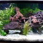 100 gallons planted tank (mostly live plants and fish) - 100g planted discus tank