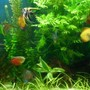 55 gallons planted tank (mostly live plants and fish) - Discus & Angels planted tank