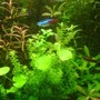 125 gallons planted tank (mostly live plants and fish) - Hydrocotyle Leucocephala&Hemianthus Micranthemoides