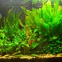 71 gallons planted tank (mostly live plants and fish) - The tank so far...
