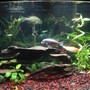 36 gallons planted tank (mostly live plants and fish) - Semi aggressive planted freshwater tank