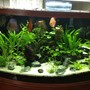 49 gallons planted tank (mostly live plants and fish) - My Amazon Planted Discus Aquascape