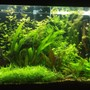 "70 gallons planted tank (mostly live plants and fish) - miracle grow potting soil with gravel cap for Substrate DIY co2 6 30w t12 lamps 36"" long on 10 hours a day no Fertilizers 30% water change weekly"