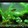 planted tank (mostly live plants and fish) - 30g; mixed substrate of gravel and Flourite; driftwood; snakeskin gourami; rummynose tetras; kuhli loaches; RTBS; anacharis; various anubias and crypts; Java fern; Java moss