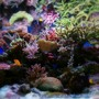 corals inverts - seriatopora stellata - pink thick branch birdsnest coral stocking in 540 gallons tank - nr5